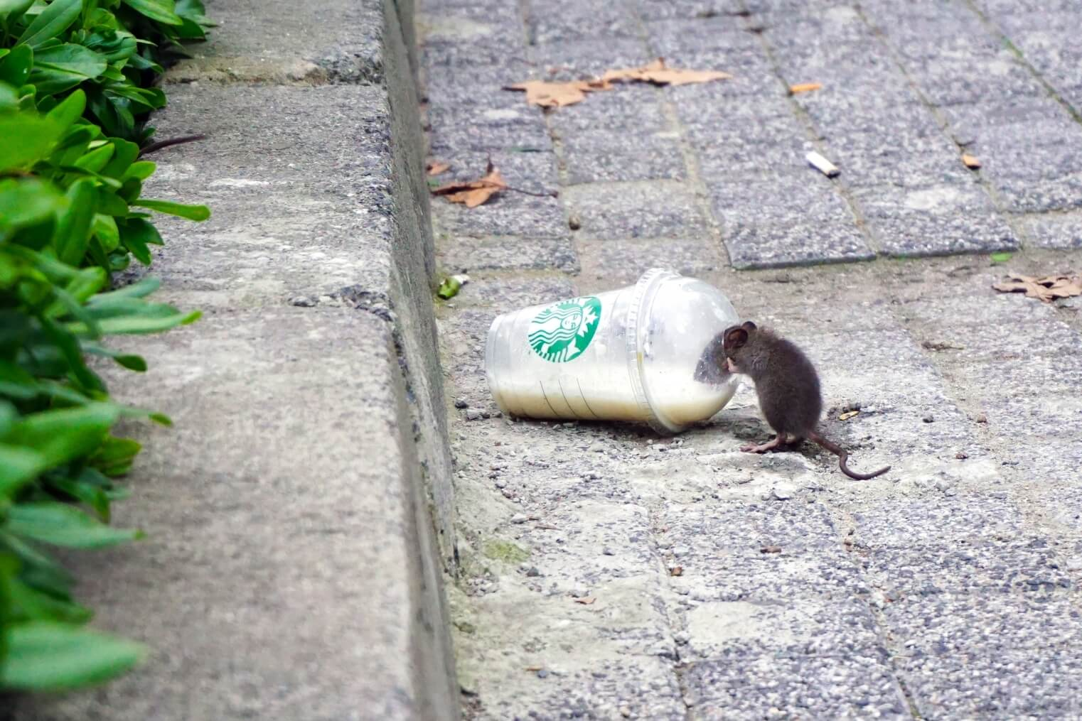 Rat in a starbucks cup
