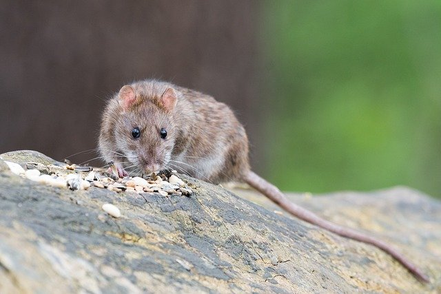 rat catcher london
