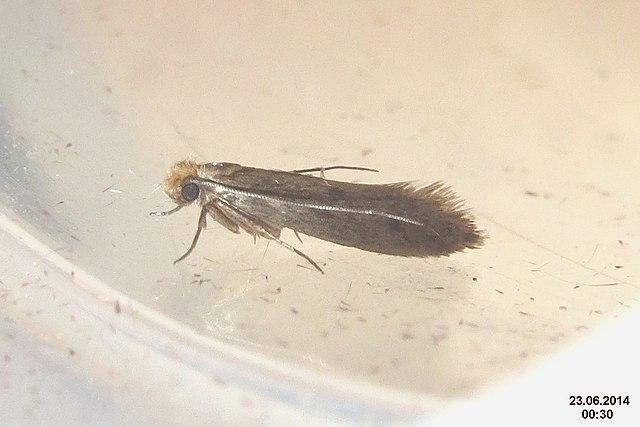 clothing moth infestation