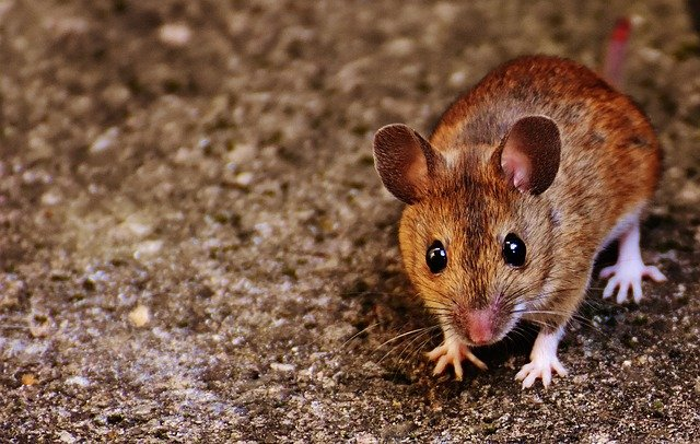 mice in your house mouse