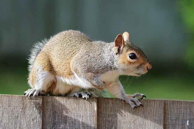 squirrel control london