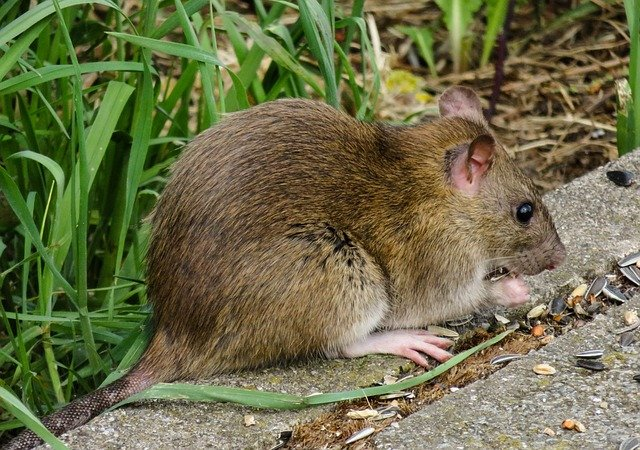 why do you get rats in your garden