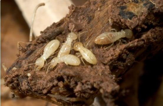 Termite control method
